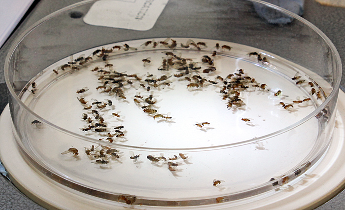 Trapped fruit flies, including spotted-winged drosophila