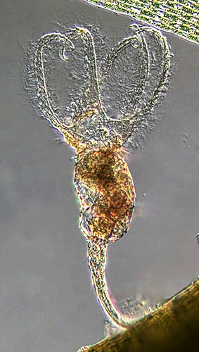 Stephanoceros from E. D. Evens slide