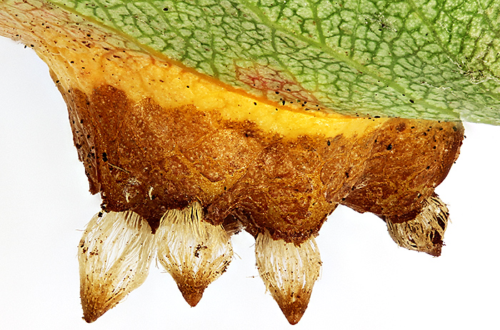 European pear rust (lower surface of leaf)