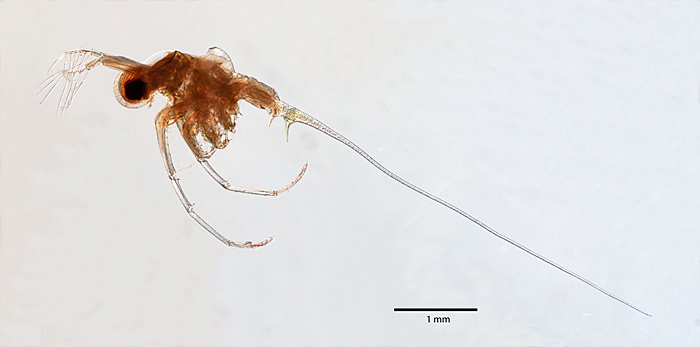 Bythotrephes longimanus (Leydig), by Phil Greaves