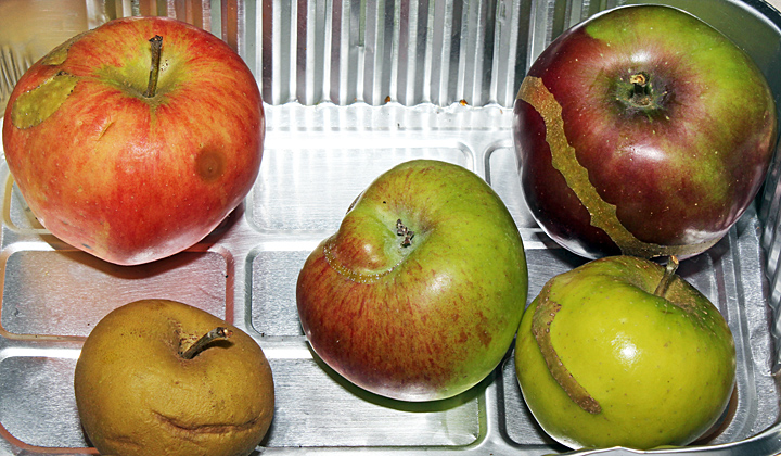Apples with insect damage