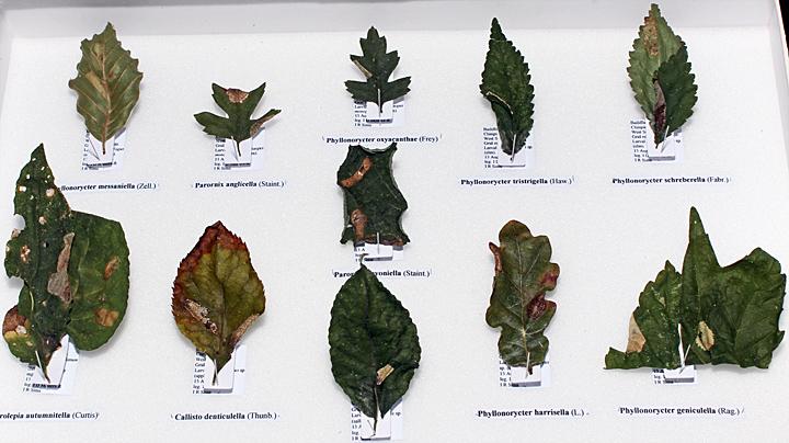 Leaf mines