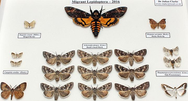 Migrant Lepidoptera