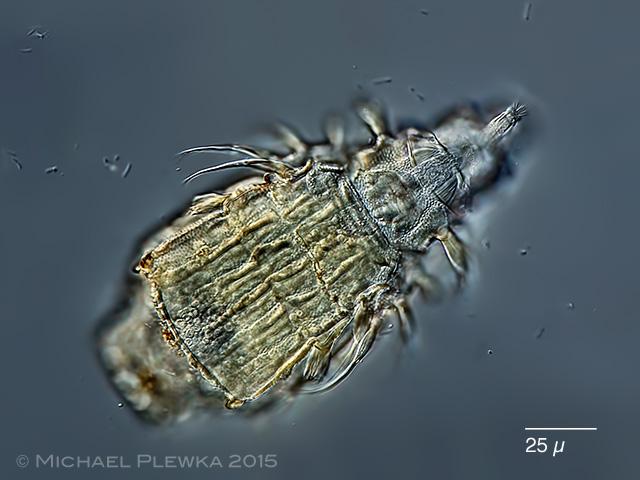 Macrotrachela zickendrahtii