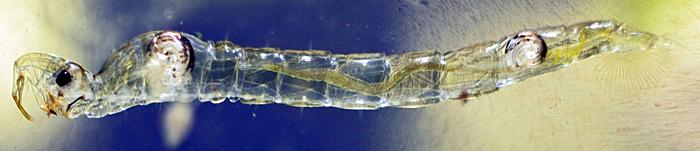 Chaoborus crystallinus larva