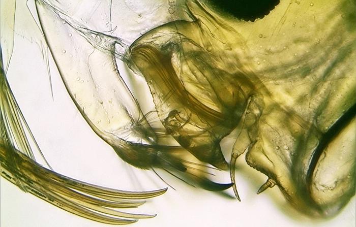 Antennae and jaws of Chaoborus crystallinus larva