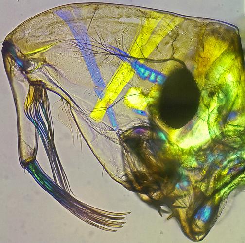 Muscles in head of Chaoborus crystallinus larva