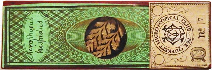 M. C. Cooke slide of sori of Acrophorus hispidus