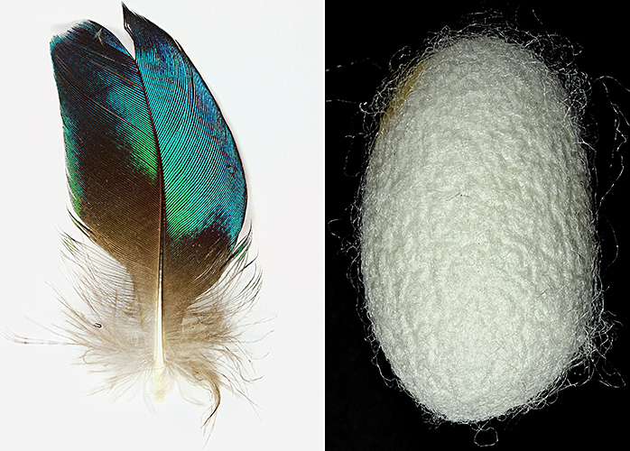 Peacock wing feather and silkworm cocoon