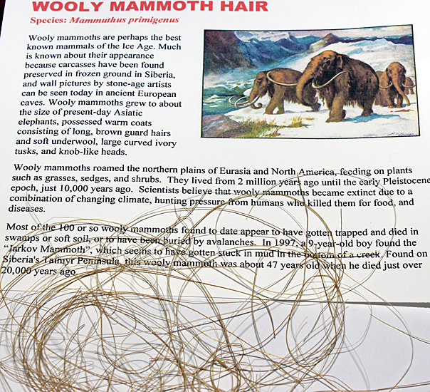 Wooly mammoth hair