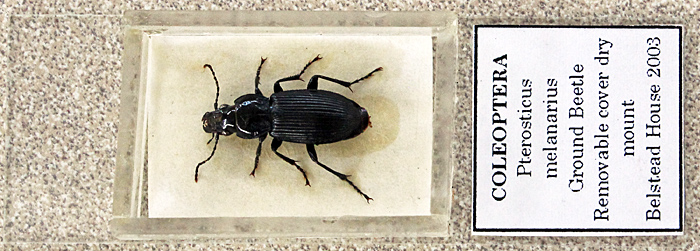 Dry mount of entire beetle