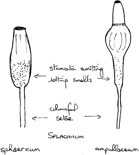 Enlarged stomata in neck of Splachnum spp.