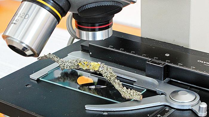 Lichen under the microscope
