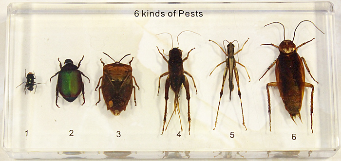 Insect pests in resin