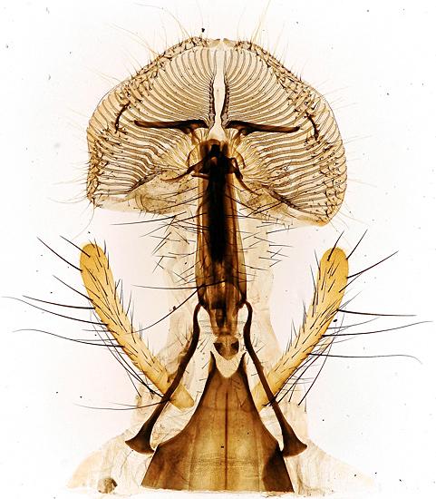 Blowfly tongue