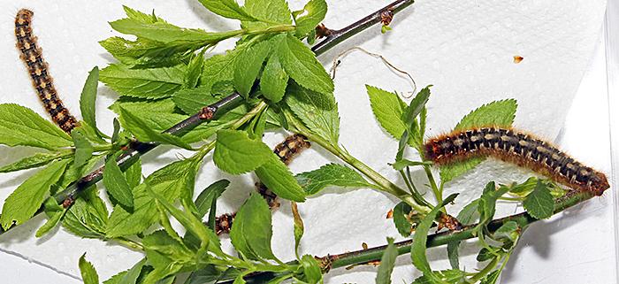 Caterpillars of the oak eggar