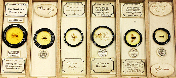Victorian slides of insects