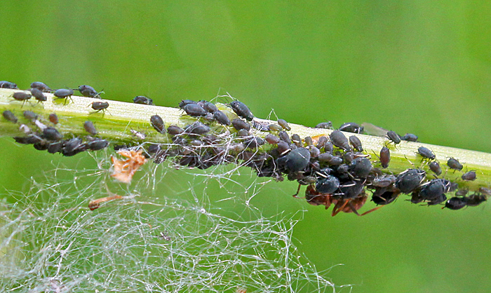 Ant tending black aphids
