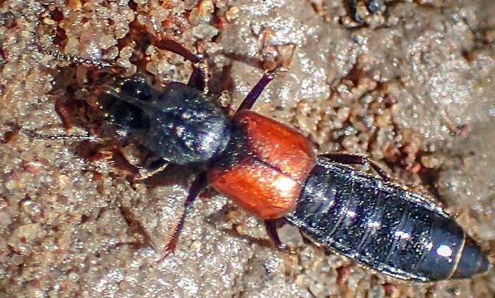 Bledius spectabilis