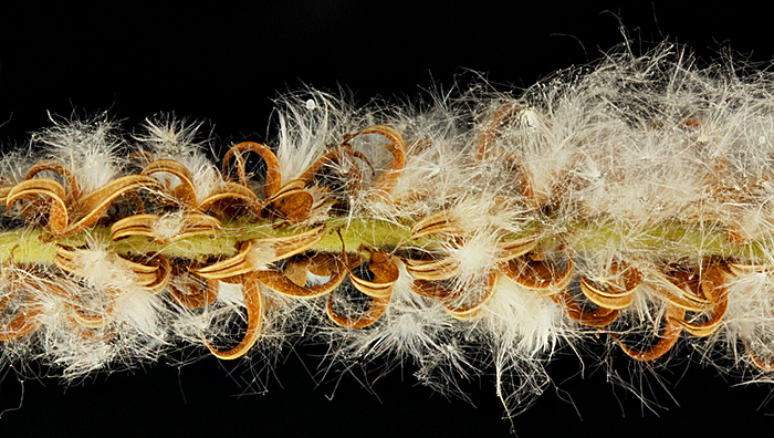 Female catkin of crack willow (Salix fragilis)