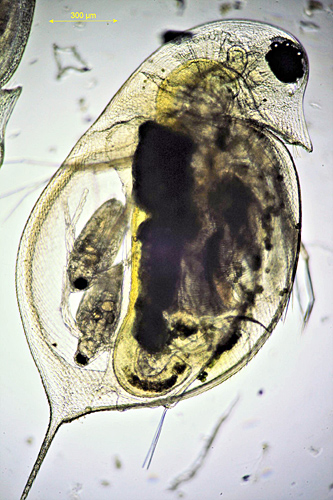Daphnia pulex with well-developed young in brood pouch