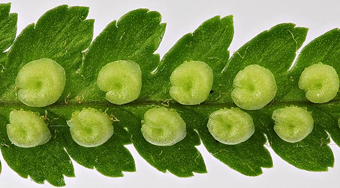 Immature sori on underside of fern frond