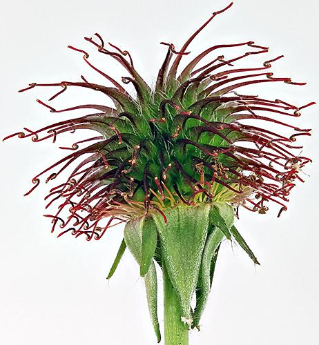 Burr of herb bennet (Geum urbanum)