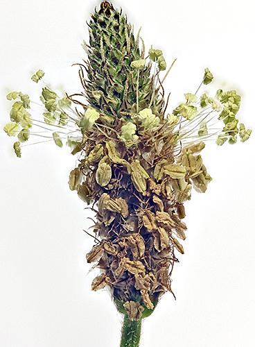 Flower head of ribwort plantain (Plantago lanceolata)