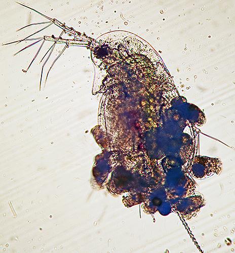 Waterflea with epizootic rotifers