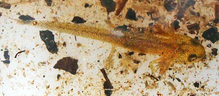 Newt tadpole