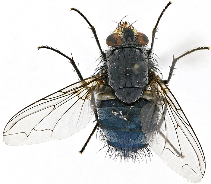 Bluebottle (Calliphora vomitoria) using shadowless illumination