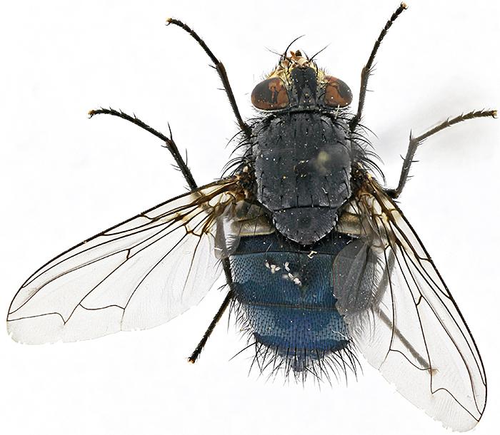 Bluebottle (Calliphora vomitoria) using shadowless illumination