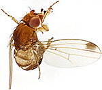 Male spotted-wing drosophila