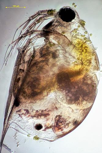Scapholebris mucronata