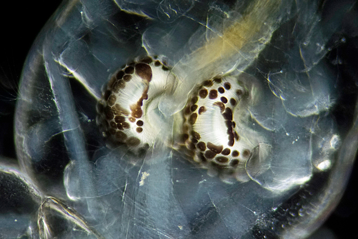 Air sacs of phantom midge larva