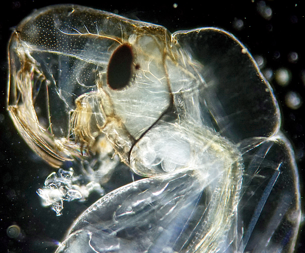 Head of phantom midge larva