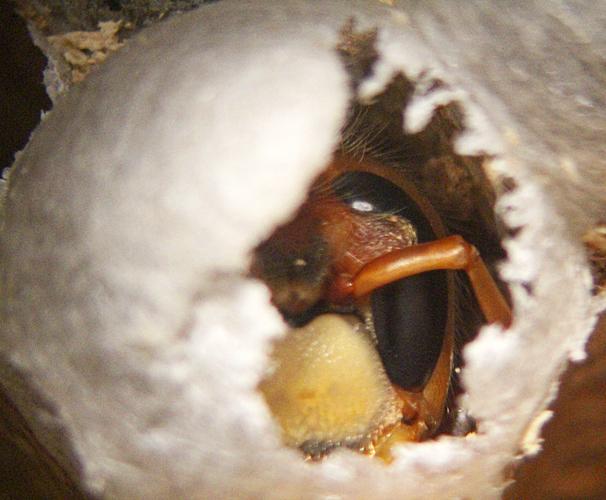 Hornet in cell