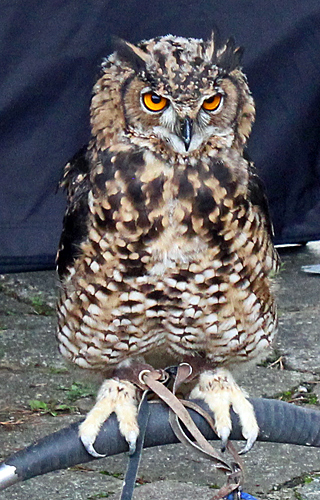 Watch birds of prey from The Hawking Centre