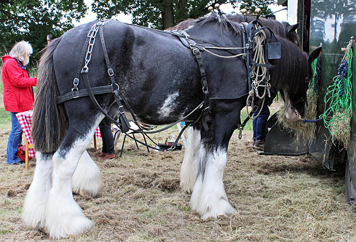 Shire horses from the Royal Parks