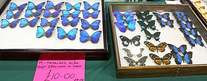 Blue butterflies for sale