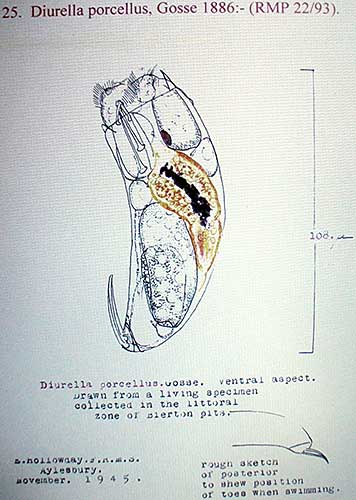 Rotifer drawing by Eric Hollowday