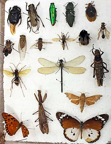 Dafydd Lewis's insects