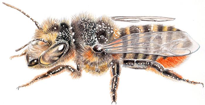 Patchwork leaf-cutter bee (Megachile centuncularis) by Margaret Zella Stanley