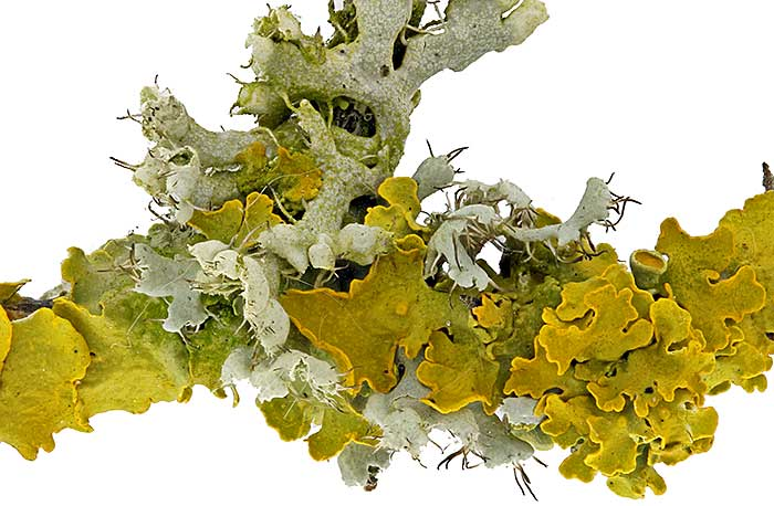 Yellow and grey lichens on twig