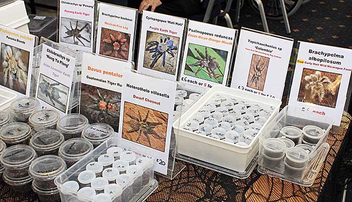 Live spiders for sale