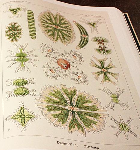 Desmids by Haeckel