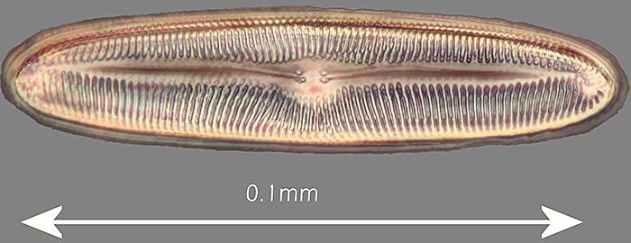 Pinnularia viris (phase contrast, LED bulb)