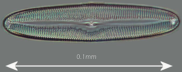 Pinnularia viris (phase contrast, halogen bulb)