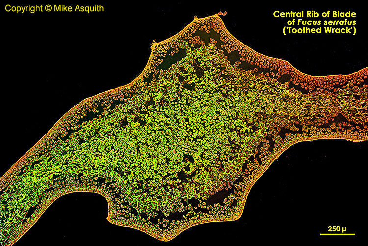 Central rib of blade of Fucus serratus (toothed wrack)