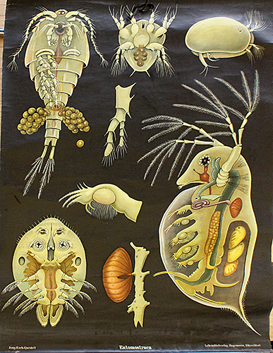 School poster of Entomostraca